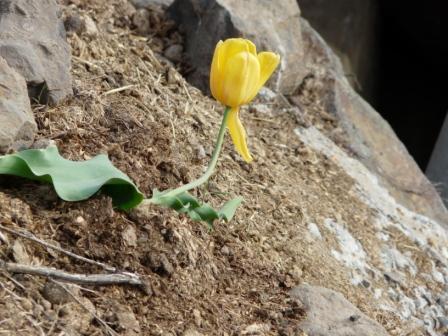 1-tulip-surviving