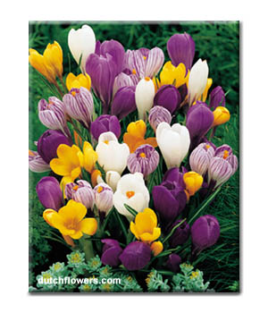 giant_mixed_crocus
