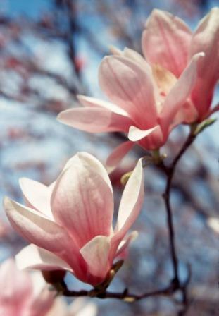 magnolia-close-up
