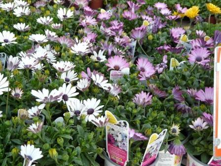 american-daisies