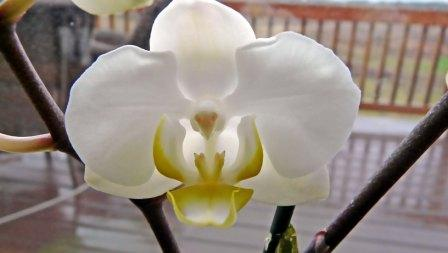 orchid-3-small