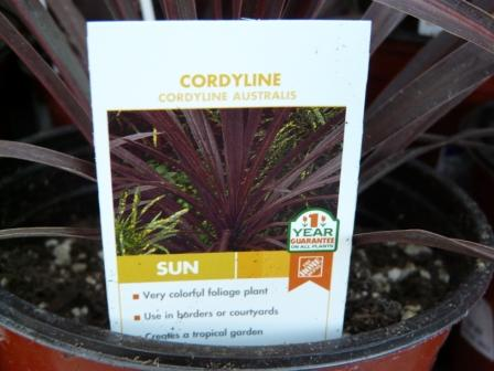 purple-grass-cordyline