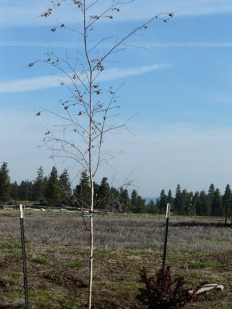 royal-frost-birch