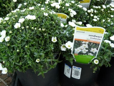 sandwort-buy-some