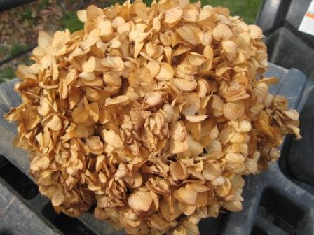 dried out hydrangea