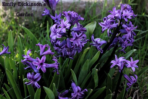 hyacinth edg