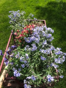 flowers in wagon for planting