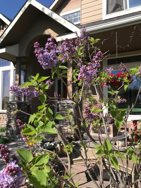 lilac front of house